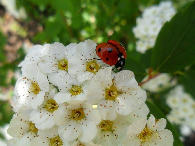 Onzelieveheersbeestje op de bloemen stock afbeelding