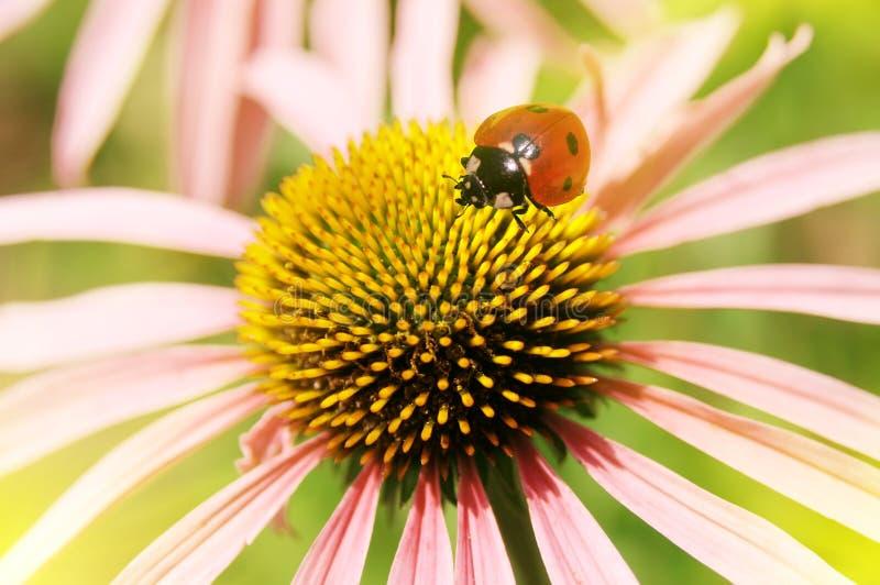 Onzelieveheersbeestje op een bloem stock foto's