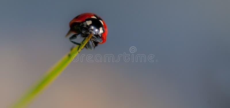 Onzelieveheersbeestje op een grasblad stock foto's