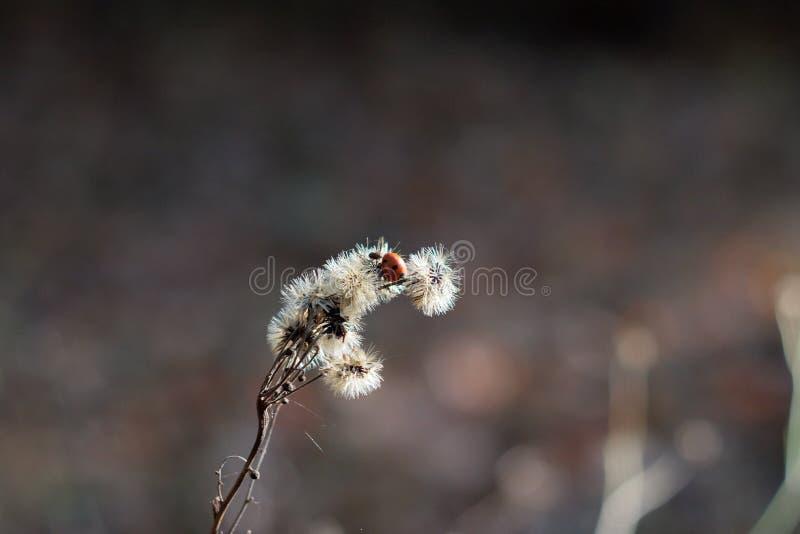 Onzelieveheersbeestje op een steel op een grijze achtergrond stock foto's
