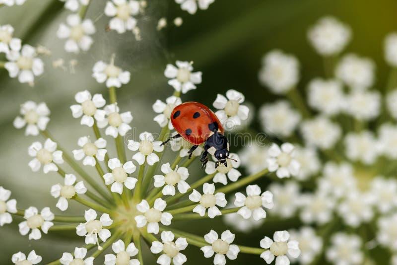Onzelieveheersbeestje op een witte bloem royalty-vrije stock foto's