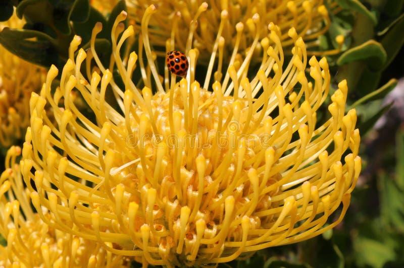 Onzelieveheersbeestje op gele exotische Leucospermum-bloem royalty-vrije stock foto