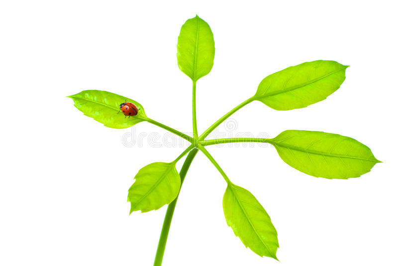Onzelieveheersbeestje op groen geïsoleerde blad stock foto