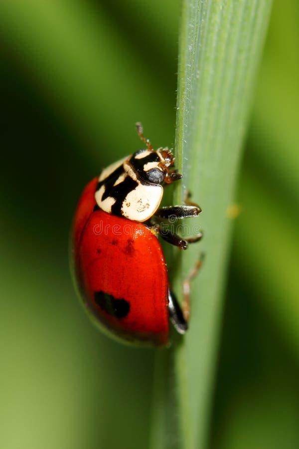 Onzelieveheersbeestje op groen gras stock foto's