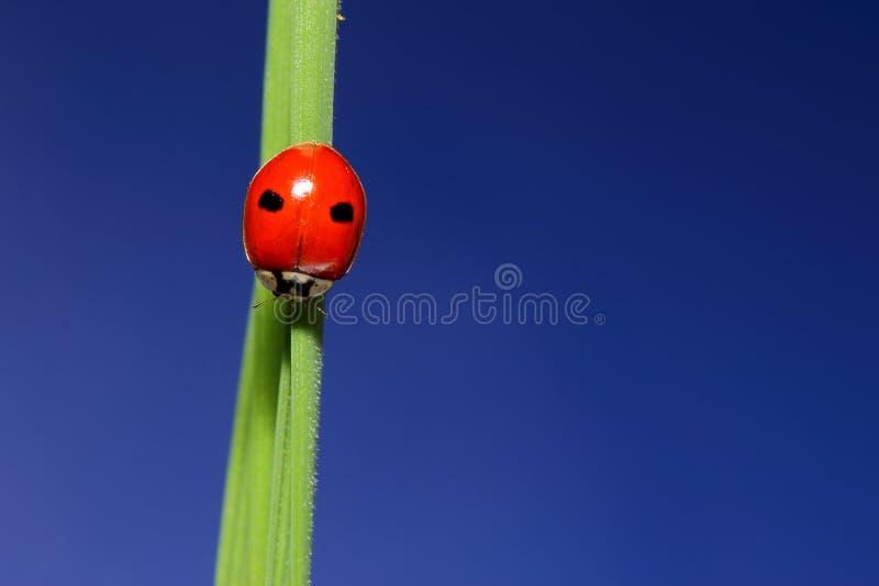 onzelieveheersbeestje op groen gras over blauwe hemel. macro royalty-vrije stock afbeeldingen