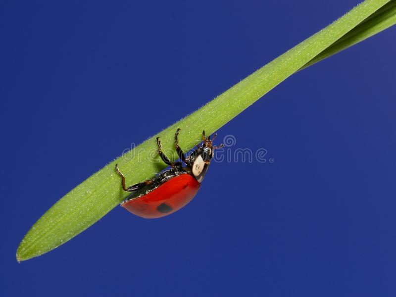 Onzelieveheersbeestje op groen gras over blauwe hemel. macro royalty-vrije stock fotografie