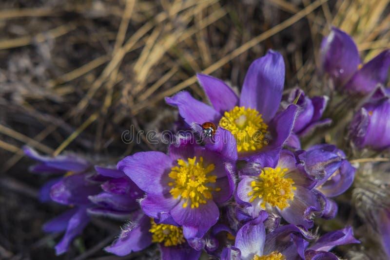 Onzelieveheersbeestje op het pluizige sneeuwklokje van de lente purpere bloemen of droom-Gras in het de lentebos stock afbeeldingen