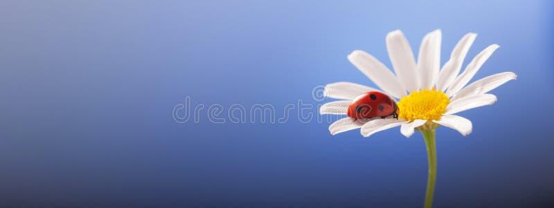 Onzelieveheersbeestje op kamillebloem, lieveheersbeestje op blauwe achtergrond stock afbeeldingen