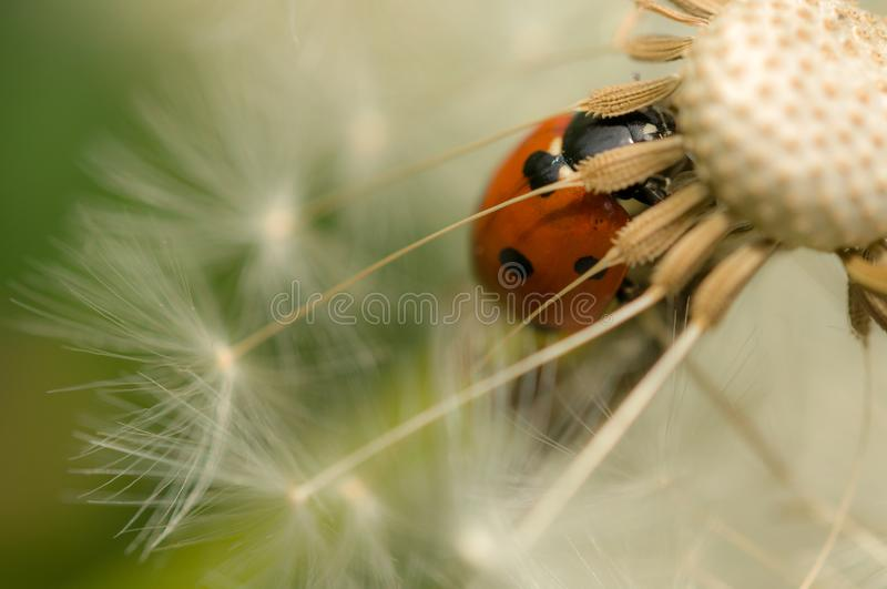 Onzelieveheersbeestje op paardebloembloem stock afbeelding