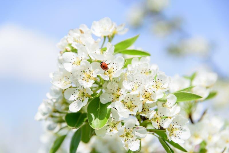 Onzelieveheersbeestje op perenbloem die nectar verzamelen stock afbeeldingen