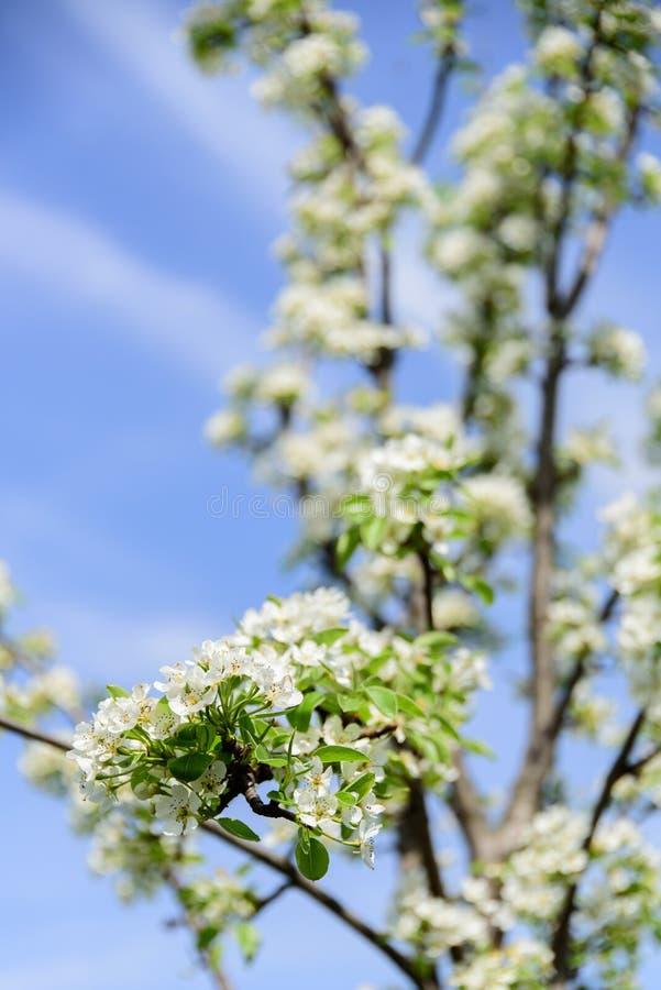 Onzelieveheersbeestje op perenbloem die nectar verzamelen stock fotografie