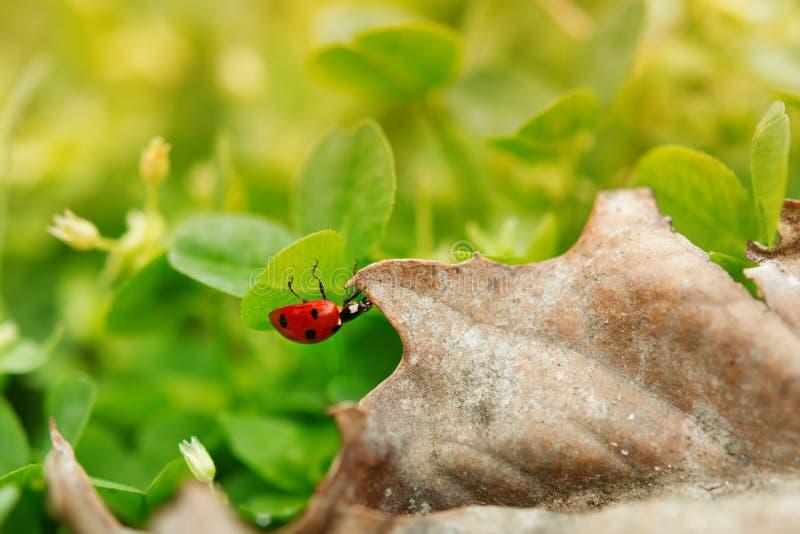 Onzelieveheersbeestjeclose-up op een blad royalty-vrije stock foto's