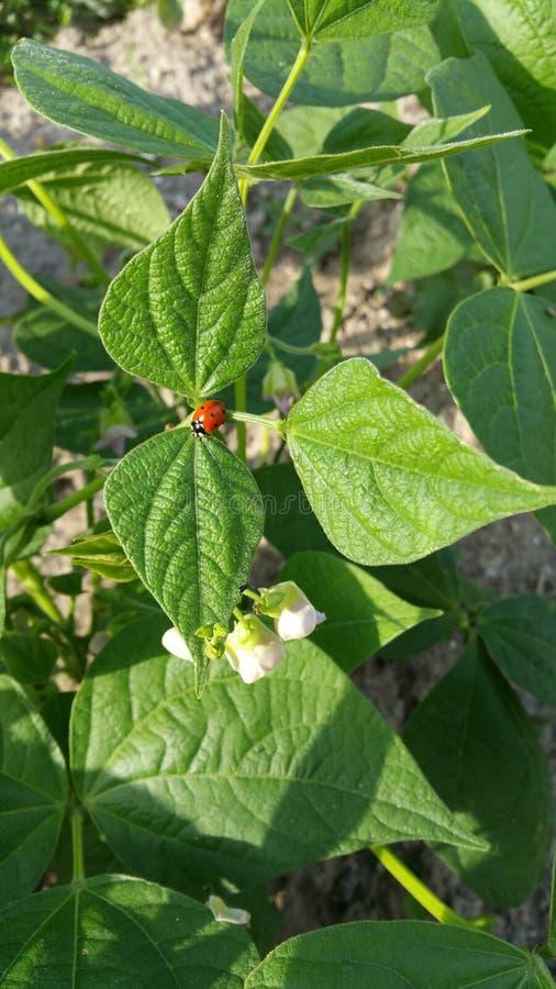 Onzelieveheersbeestjeinsect op groen blad royalty-vrije stock foto's