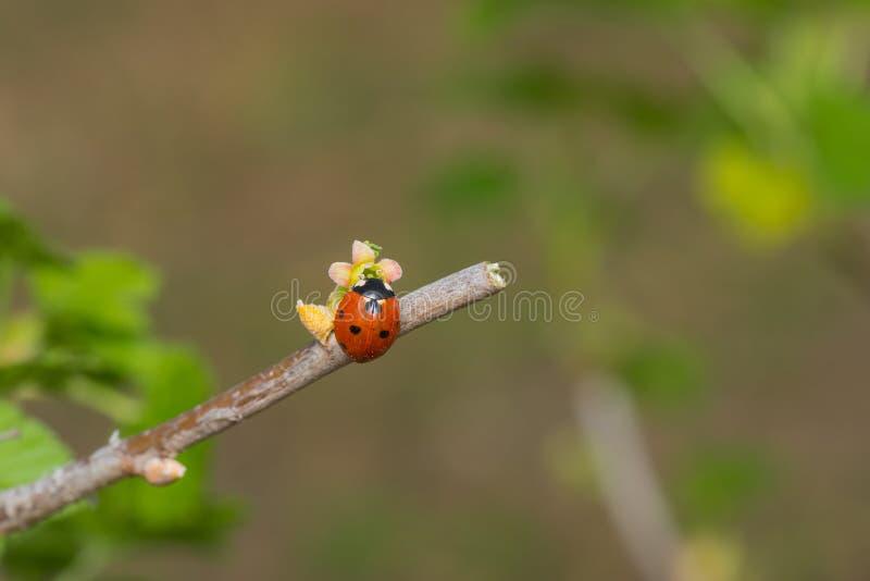 Onzelieveheersbeestjezitting op een uiterst kleine besbloem stock foto