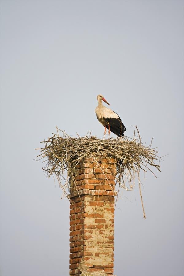 white stork ciconia ciconia stock photos