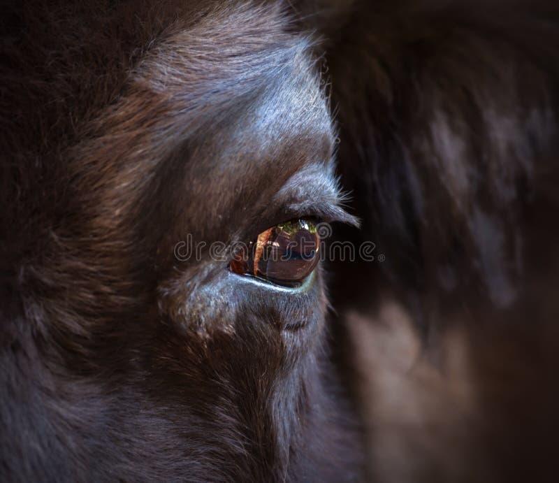 Oog van een bizonclose-up Het grootste aardse dier in Noord-Amerika en Europa stock fotografie