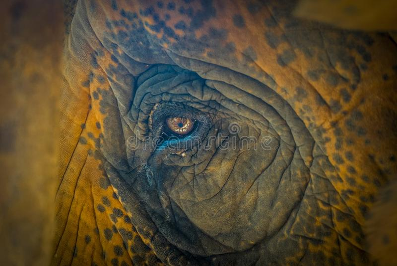 Oog van olifant stock afbeelding