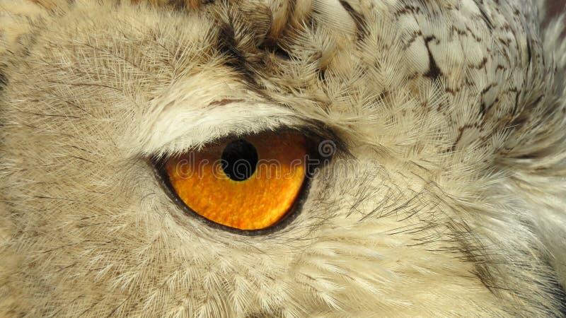 Oog van Siberisch Eagle Owl stock afbeelding