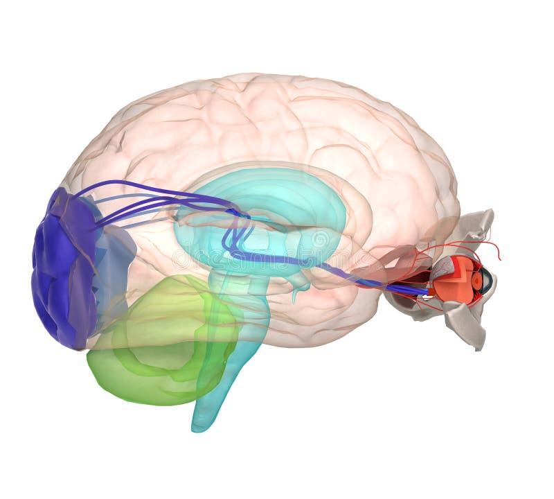 Ooganatomie en structuur, spieren, zenuwen en bloedvat van stock illustratie