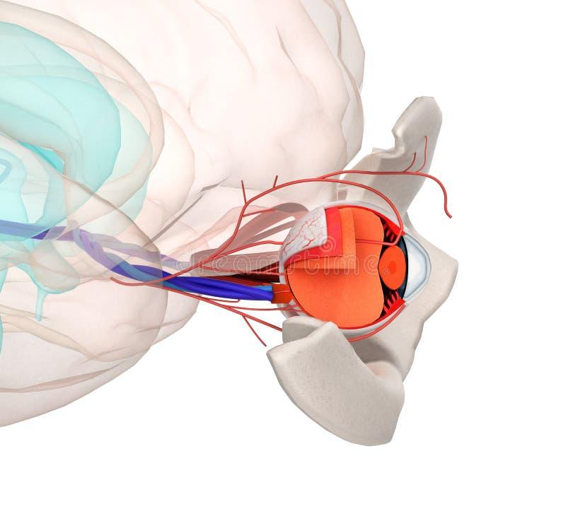 Ooganatomie en structuur, spieren, zenuwen en bloedvat van vector illustratie