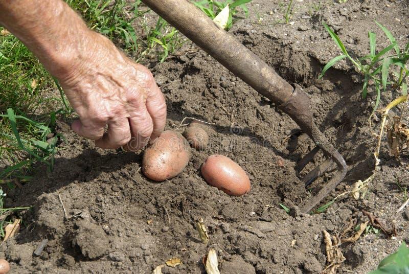 Oogst 01 van de aardappel stock foto's