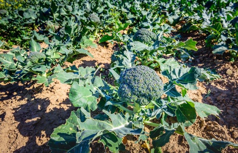 Oogst rijpe organisch gekweekte broccoli op een zonnig gebied stock afbeeldingen