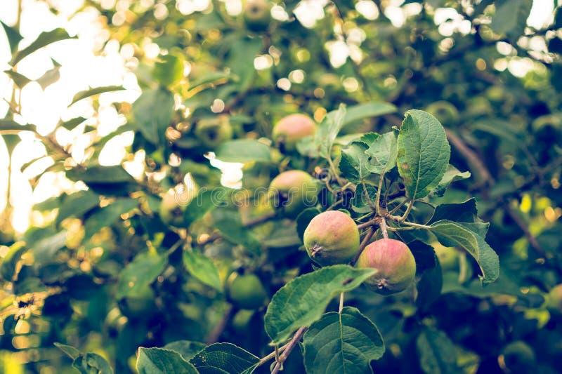 Oogst van appelen De Apple-boom in de straal van de avondzon stock fotografie