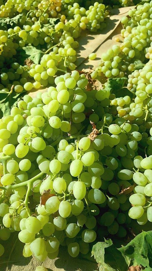 Oogst van druiven het drogen royalty-vrije stock foto's