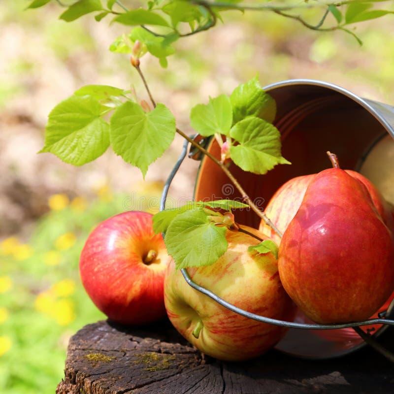 Oogst van rijpe sappige rode appelen en peren in een emmer op een stomp in de tuin op een natuurlijke zonnige geelgroene achtergr stock foto
