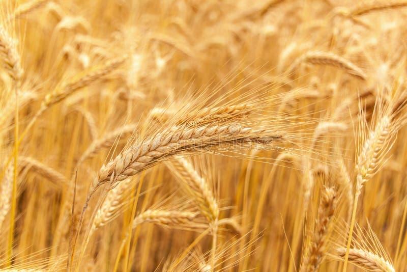 Oogst van rijpe tarwe Graangewassen, landbouw De zomerdag op landbouwlandbouwbedrijf royalty-vrije stock afbeelding
