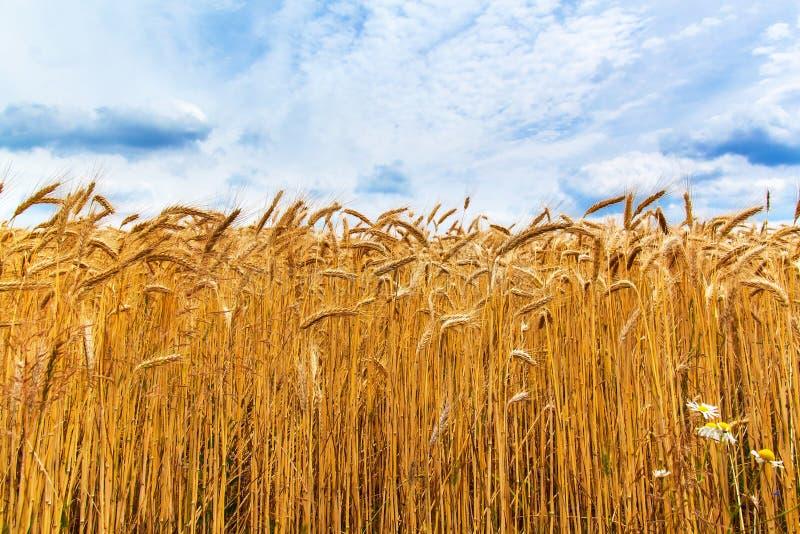 Oogst van rijpe tarwe tegen de blauwe hemel Graangewassen, landbouw De zomerdag op landbouwlandbouwbedrijf royalty-vrije stock foto's