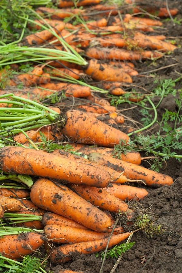 Oogst van wortelen stock afbeelding