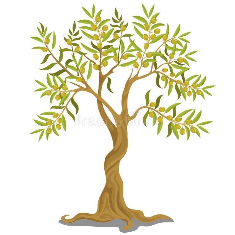 Oogstend Griekse olijfboom met rijpe groene olijven op de takken die op witte achtergrond worden ge?soleerd Vector beeldverhaal stock illustratie