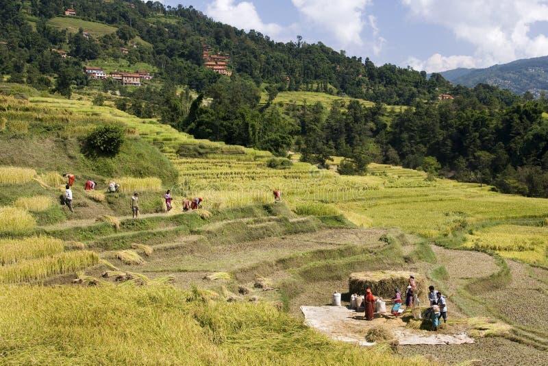 Oogstend rijst - de Vallei van Katmandu - Nepal stock foto's