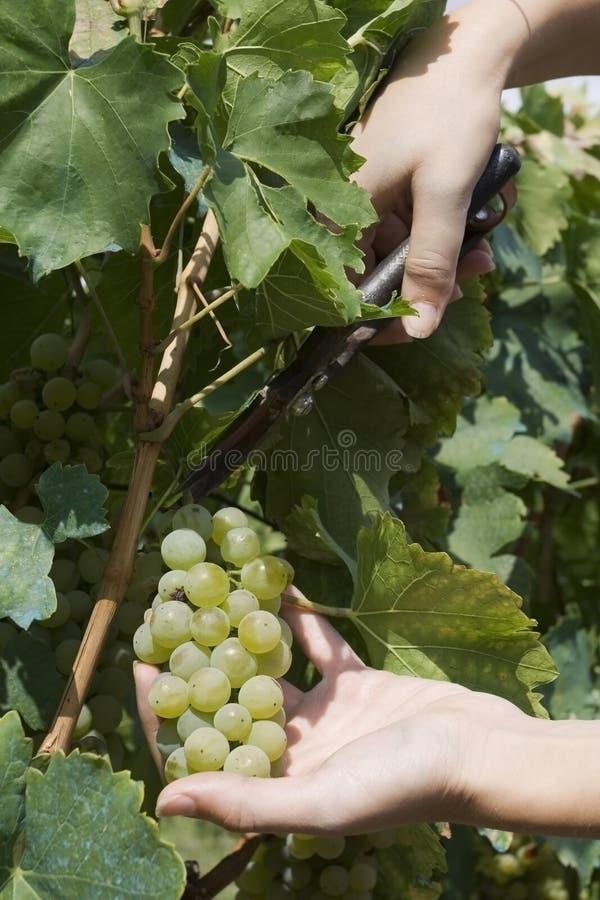 Oogstende druiven royalty-vrije stock afbeeldingen