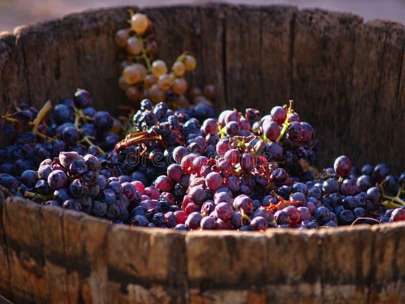 Oogstende druiven. stock fotografie