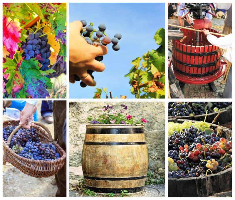Oogstende druiven stock afbeelding