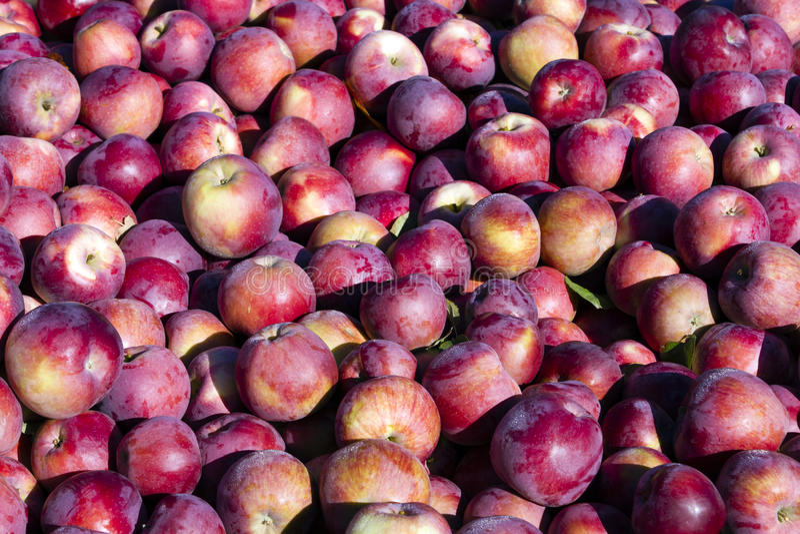 Oogstende Organische Rode Appelen stock foto