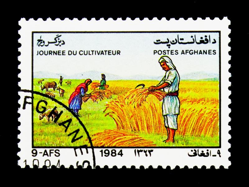 Oogstende tarwe, Schapen (Ovis ammon aries), de Dag van Landbouwers serie, stock foto's