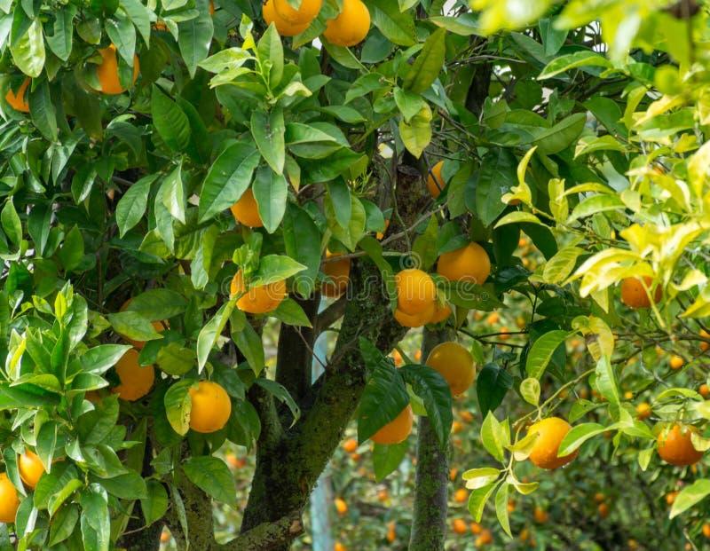 Oogstseizoen op oranje bomenaanplanting royalty-vrije stock afbeeldingen