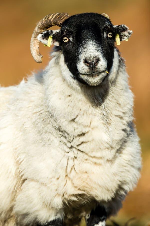 Ooi op Schotse Croft, vrouwelijke schapen die aan de voorzijde kijken royalty-vrije stock afbeeldingen