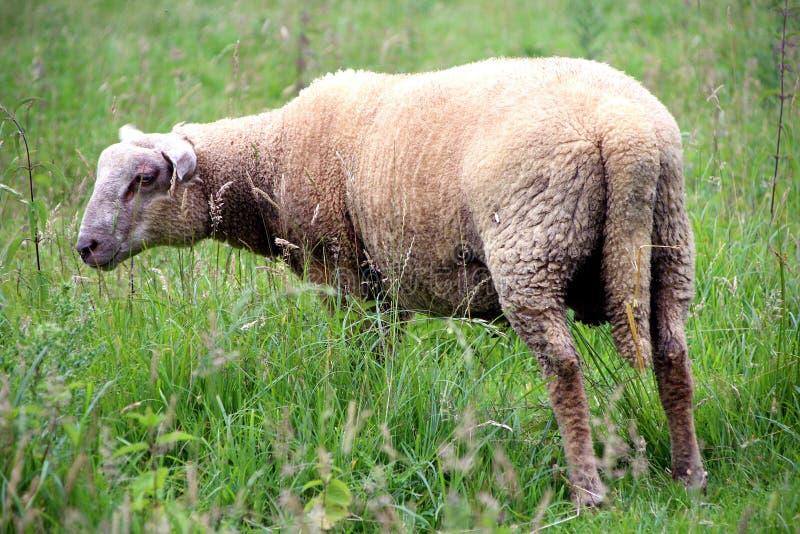 Ooien, een jonge ooi op zijn gebied in de zomer royalty-vrije stock afbeeldingen