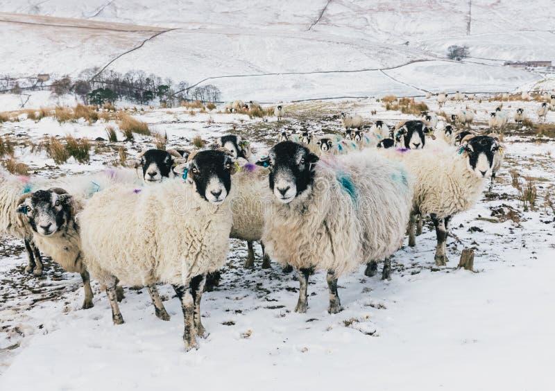 Ooien, een troep van zwangere ooien in de Dallen van Yorkshire tijdens winters weer royalty-vrije stock foto's