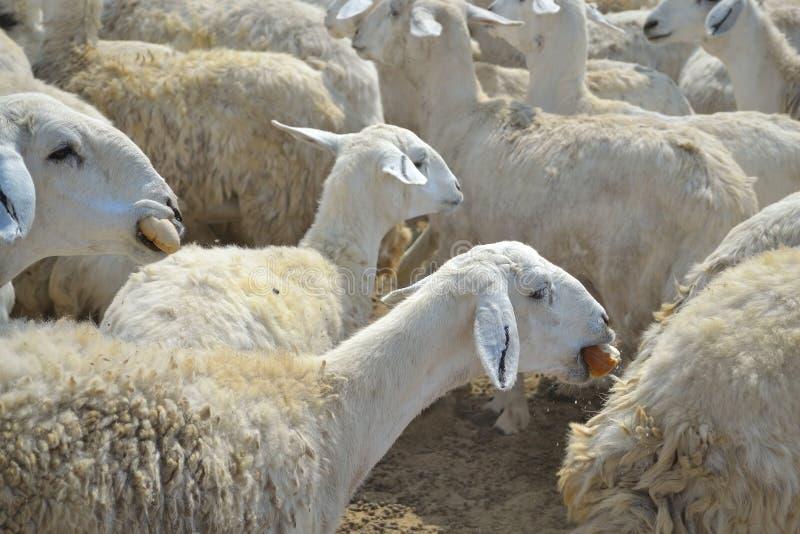 Ooien en droog brood royalty-vrije stock afbeelding