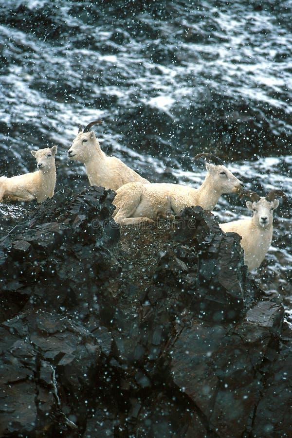 Ooien en lammeren in dalende sneeuw, Alaska, het Nationale Park van Denali, Ta stock afbeeldingen