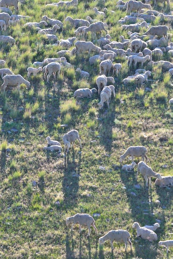Ooien en Lammeren op de berghelling van Montana stock afbeelding