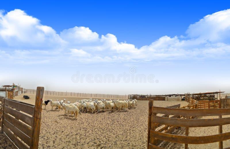 Ooien in het landbouwbedrijf met Houten omheining in panoramische vi stock afbeelding
