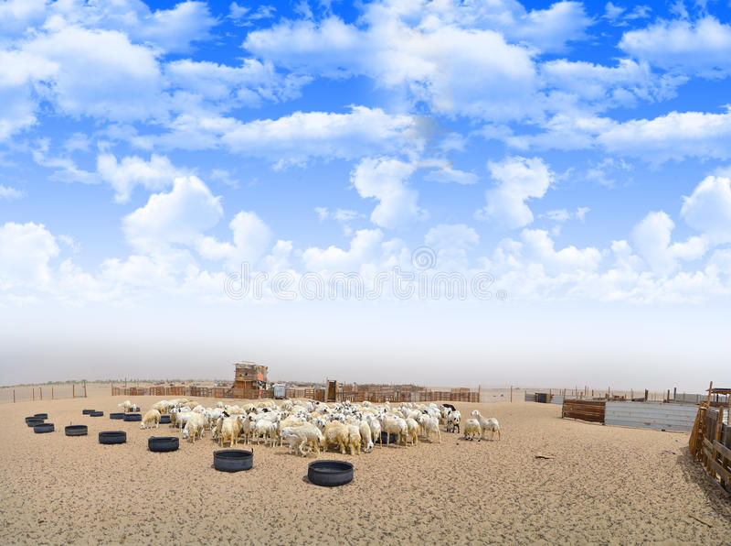 Ooien in het landbouwbedrijf in panorama royalty-vrije stock afbeeldingen