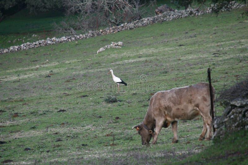 Ooievaar en koe het weiden stock afbeeldingen