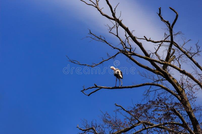 Ooievaar op droge boom stock foto